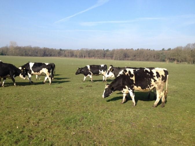 20160311 droge koeien buiten